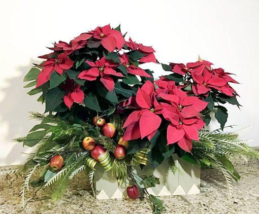 Nochebuenas para regalo Maria Orsini