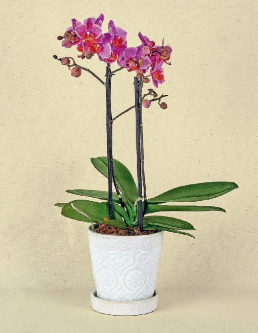 orquideas para regalo cdmx